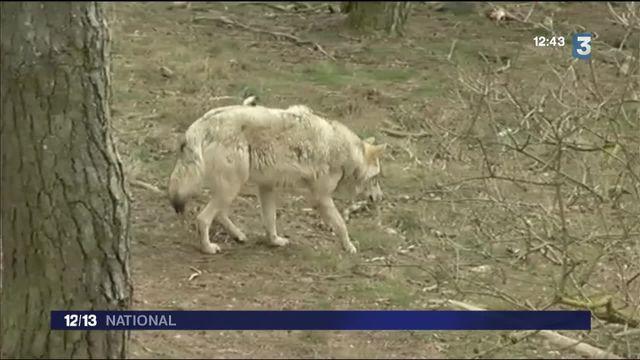Lozère : la chasse aux loups est ouverte