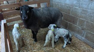 En 10 jours, ce sont 120 agneaux qui sont nés. (FRANCE 3)