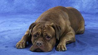 Interpellé samedi 1er août, le propriétaire du dogue de Bordeaux enterré vivant nie les faits, et affirme que son chien s'est enfui. (MAXPPP)