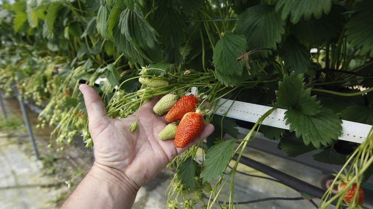 Les agriculteursont souvent recours aux travailleurs saisonniers pour ramasser les fraises,les cerises,les abricotset encore lesasperges. Photo d'illustration. (CHRISTIAN WATIER / MAXPPP)