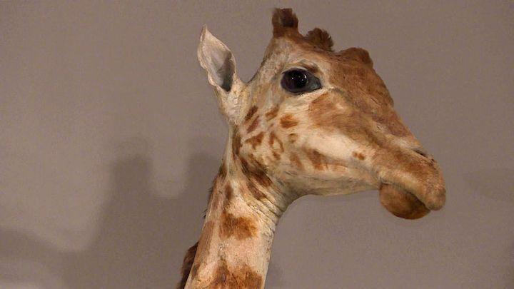 Zarafa, lapremière girafe a être entrée en France, en 1826 (France 3 Poitou-Charente)