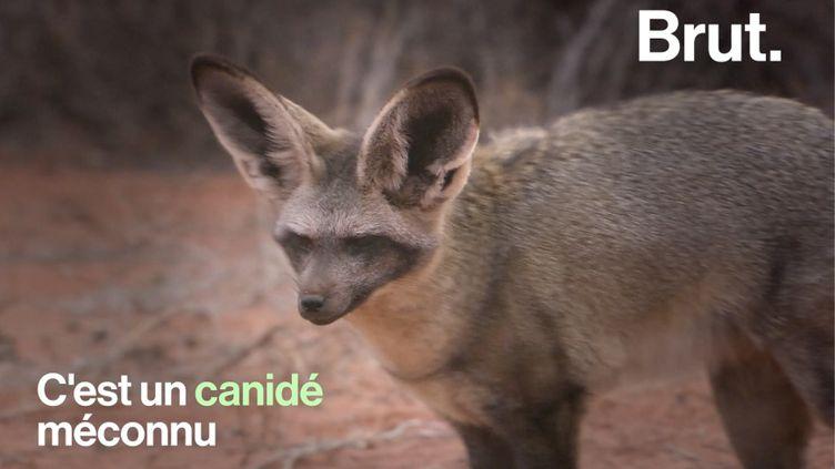 VIDEO. Entre le fennec et le renard, voici l'otocyon (BRUT)