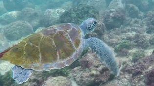 Alors que les tortues, longtemps braconnées pour leur chair, étaient une espèce menacée, au Sénégal certains habitants ont décidé de les défendre. Ils essayent de changer les mentalités et, ils y parviennent. (France 2)