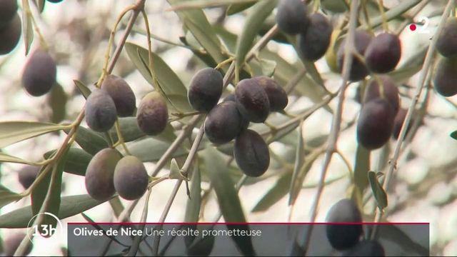 Agriculture : une récolte prometteuse pour l'huile d'olive de Nice