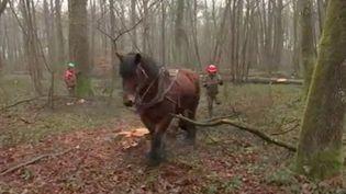 L'office national des forêts procède régulièrement à des coupes d'arbres malades ou abîmés pour assurer la pérennité des boisements. Ces travaux délicats sont confiés à des chevaux de trait qui remplacent les tracteurs. (FRANCE 3)