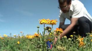 Face aux dégâts causés par la révolution industrielle sur les cultures, un ingénieur agroalimentaire expérimente un traitement à base de fleurs dans le Rhône pour décontaminer les sols (CAPTURE ECRAN FRANCE 2)