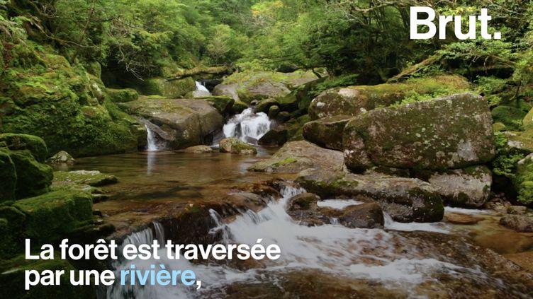 VIDEO. Yakushima, l'île aux cèdres millénaires (BRUT)
