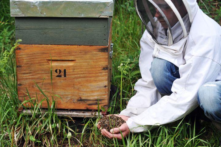 Julien Orain, apiculteur, rassemble des abeilles retrouvées mortes près des ruches de son exploitation, le 9 juin 2009, à Campbon (Loire-Atlantique). (FRANK PERRY / AFP)
