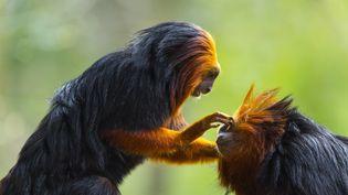 Deux tamarins-lions dorés. (JUAN-CARLOS MUÑOZ / BIOSPHOTO / AFP)