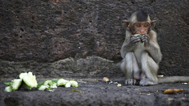 Un bébé macaque se nourrit de fruits lors du banquet annuel au temple Prang Sam Yot à Lopburi (Thaïlande), le 27 novembre 2011. (DAMIR SAGOLJ / REUTERS)