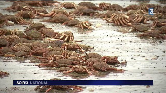 Côtes-d'Armor : des milliers d'araignées de mer s'échouent sur une plage