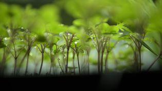 Des jeunes pousses de plantes aromatiques.  (BRENDAN SMIALOWSKI / AFP)