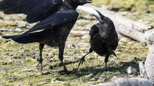 Une start-up marseillaise s'apprête à lancer un distributeur high-tech permettant aux corbeaux de ramasser des déchets pour nous (illustration) (FELIX K?STLE / DPA)