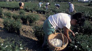 Cueillette des roses à Grasse  (Freeman-Ana / AFP)