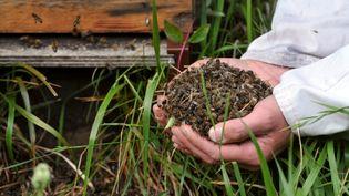 Un apiculteur de Campbon (Loire-Atlantique) montre des abeilles retrouvées mortes près de ses ruches, le 9 juin 2009. (FRANK PERRY / AFP)