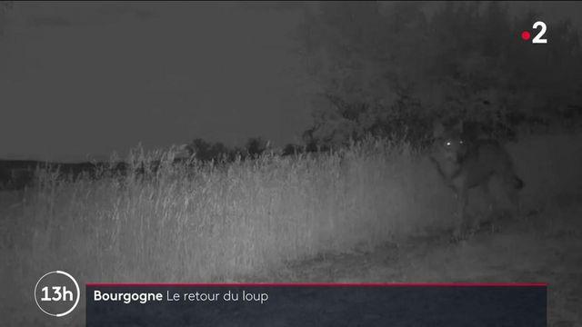 Saône-et-Loire : le retour du loup inquiète les éleveurs d'ovins