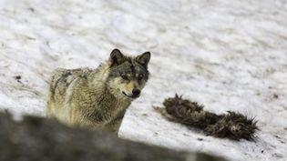 Un loup dans le Parc naturel des Pyrénées. (  MAXPPP)