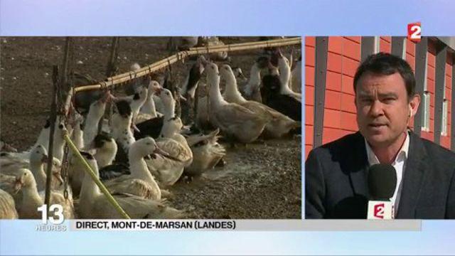 Grippe aviaire : 600 000 canards landais abattus de manière préventive