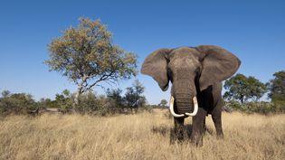 Un éléphant dans le delta de l'Okavango au Botswana. (SERGIO PITAMITZ / BIOSPHOTO)