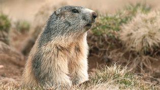Une marmotte en Auvergne. (JEREMIE FULLERINGER / MAXPPP)