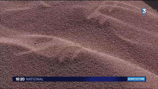 Agriculture : la crise du blé
