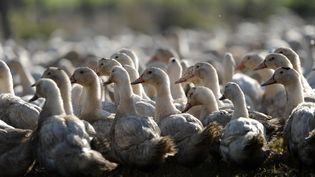 """Treize foyers d'influenza aviaire """"hautement pathogène pour les volailles"""" ont été confirmés dans cinq départements, dont sept en Dordogne, trois dans les Landes, un en Haute-Vienne, un dans le Gers et un dans les Pyrénées-Atlantiques. (IROZ GAIZKA / AFP)"""