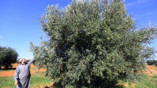 Arbre méditerranéen par excellence, l'olivier prospère sur le littoral libyen depuis des siècles, mais les champs d'oliviers en Libye datent, eux, de la colonisation italienne, plantés dans les années 30. (MAHMUD TURKIA / AFP)
