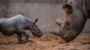 La femelle rhinocéros du zoo de Chester (Royaume-Uni) face à sa mère. (ZOO DE CHESTER)