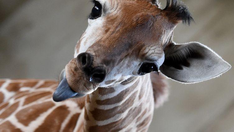 Une girafe du zoo d'Hefei, en Chine. (GUO CHEN / XINHUA / AFP)