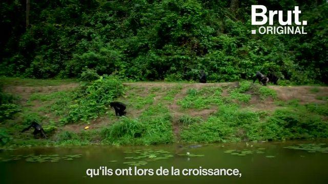 """On l'appelle le """"paradis des bonobos"""". Brut s'est rendu en République démocratique du Congo, dans le dernier sanctuaire dédié à la protection de ces grands singes."""