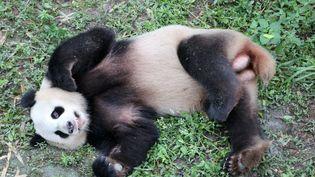 Jiao Qing, panda mâle de 7 ans, séjournera avec sa congénèreMeng Meng dans la capitale allemande pendant quinzeans, avant de regagner sa Chine natale. (DPA)