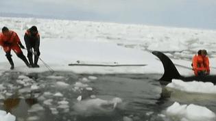 Des sauveteurs libèrent un orque piégé par les blocs de glace, mardi 19 avril 2016 près de l'île de Sakhaline, en Russie. (EVN / FRANCETV INFO)