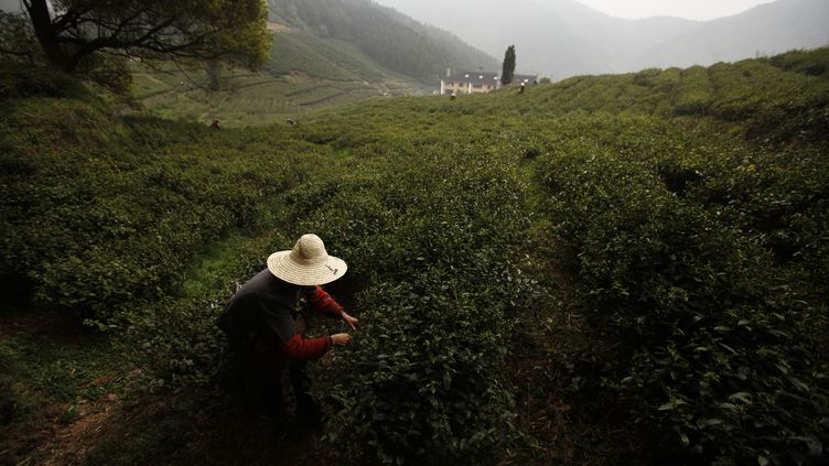 Une femme récolte des feuilles de thé à Moganshan (Chine), le 9 avril 2012. (CARLOS BARRIA / REUTERS)