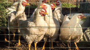 Des poules dans un poulailler, le 6 décembre 2016, près de Loon-Plage (Pas-de-Calais) où le premier cas de grippe aviaire a été signalé en France. (PHILIPPE HUGUEN / AFP)