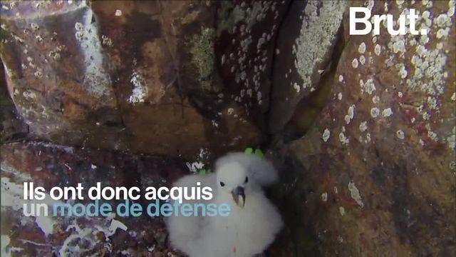 Les fulmars survolent les eaux froides des pôles. Mieux vaut ne pas s'en prendre à eux, au risque de subir un retour de bâton des plus répugnants.