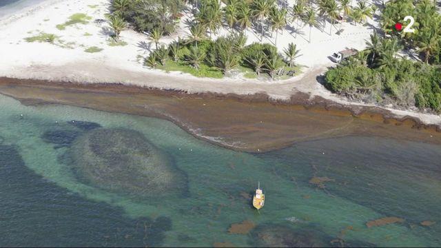 Caraïbes : les sargasses, un fléau à combattre