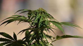 Un plant de cannabis, à Vancouver (Canada), le 17 octobre 2018. (DON MACKINNON / AFP)