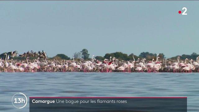 Gard : véritable terre d'accueil pour les flamants roses