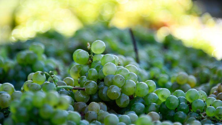 Des grappes de raisin, dans la région de l'Entre-Deux-Mers près de Bordeaux, le 3 septembre 2019. (GEORGES GOBET / AFP)
