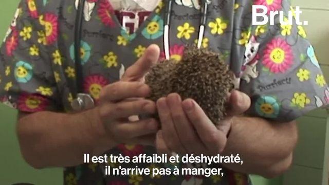 Le hérisson est l'un des animaux les plus communs d'Europe. Pourtant, la survie de l'espèce pourrait être compromise.
