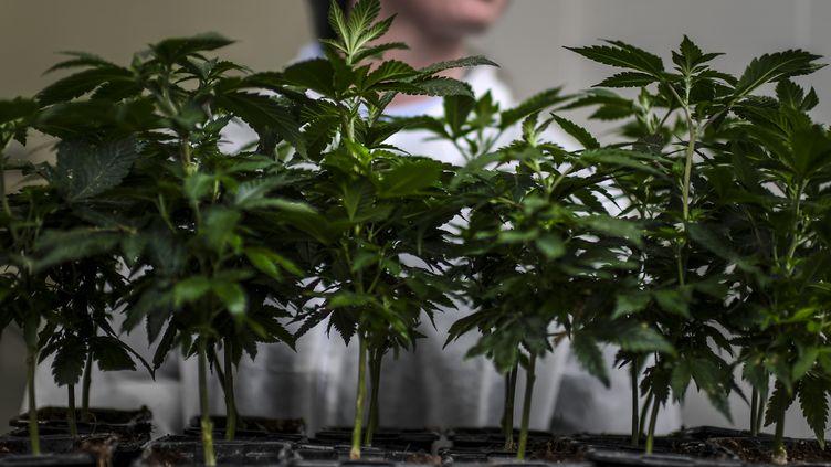Une ouvrière sur le site européen de production de cannabis médical Tilray, à Cantanhede au Portugal, le 24 avril 2018. (PATRICIA DE MELO MOREIRA / AFP)