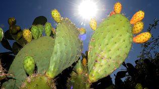 Le figuier de Barbarie, cactusOpuntia ficus-indica, est originaire du Mexique.Toute la plante, à part ses épines, peut être valorisée dans l'alimentation ou, plus récemment, dans les produits cosmétiques. (ABDELHAK SENNA / AFP)
