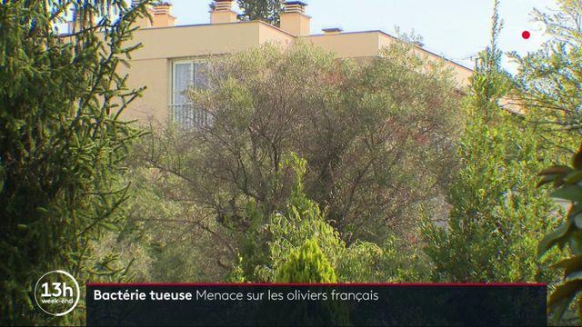 """La bactérie """"tueuse d'oliviers"""" détectée dans les Alpes-Maritimes"""