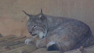Biodiversité : le lynx, une espèce à protéger de toute urgence (France 3)