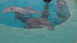 Des dauphins en captivité à Nantes (FRANCEINFO)