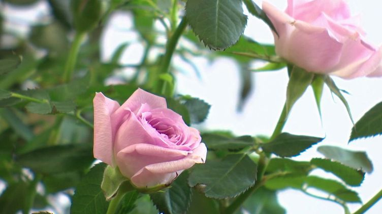 L'histoire des roses de la famille Meilland démarre à la fin du XIXe siècle. France 2 part à la rencontre de la famille qui produit ces fleurs d'exception. (France 2)