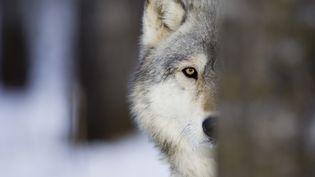 Le centre pénitentiaire de Louisiane (Etats-Unis) a formé des chiens-loups pour surveiller la prison et éviter les évasions. (DAVID TIPLING / THE IMAGE BANK / GETTY IMAGES)