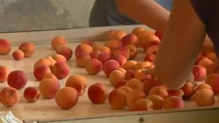 Abricots. (FRANCE 2)