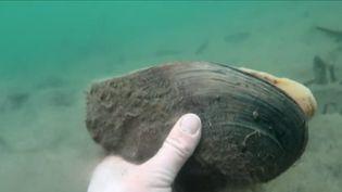 Dans l'Hérault, les moules géantes chinoises menacent les mollusques autochtones. (FRANCE 3)