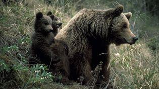 Une femelle ours brun et ses oursons dans les Pyrénées espagnoles. (FRANCISCO MARQUEZ / BIOSPHOTO / AFP)